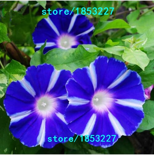 Morning Glory seeds,rare petunia seeds,bonsai flower seeds,plant for