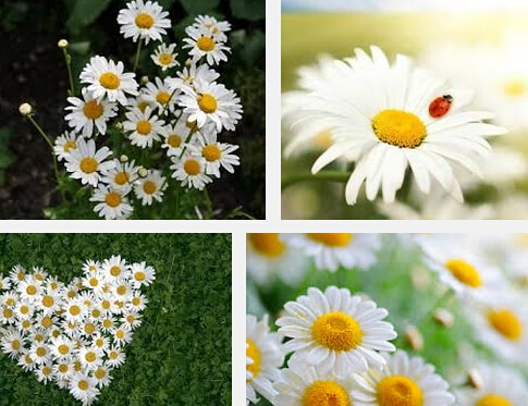 fresh daisy flowers Bellis perennis,Bellis perennis seeds, Flowers se