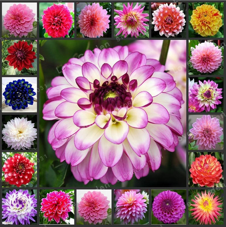 Multi-Colored Dahlia Bulbs Beautiful Perennial  Dahlia  Flower Bulbs