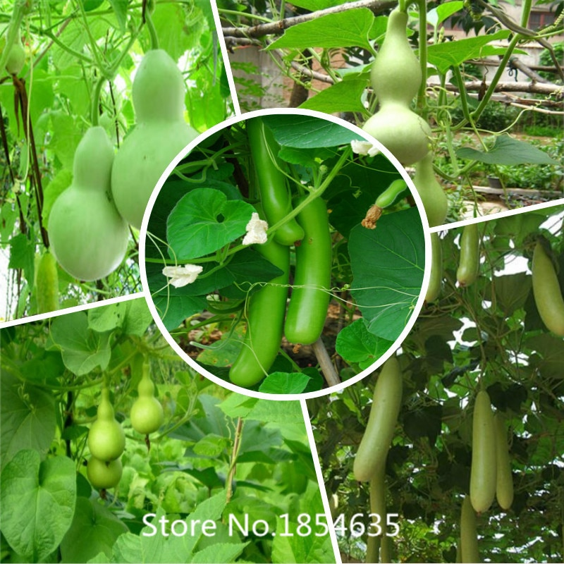 2016 Bonsai gourd Seeds 20pcs multi-Colored Vegetable Seeds Novel Pla